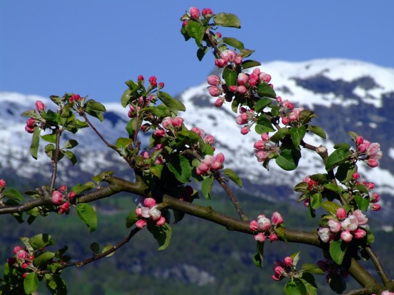 Ulvik, Apfelblüte
